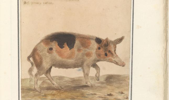 Image 2 sus scrofa zeug 1596 1610 Anselmus Boetius de Boodt